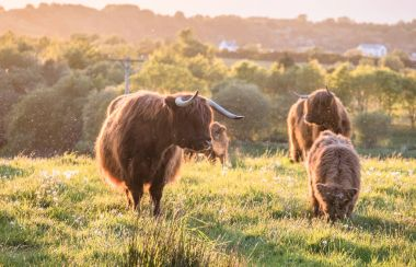 Swarm of midges attacking highland cows