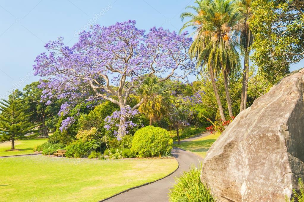 Jacaranda Tree in Australia