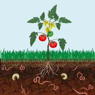 Bush tomatoes vector