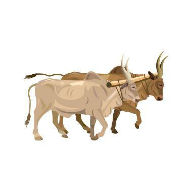 Harnessed bulls zebu