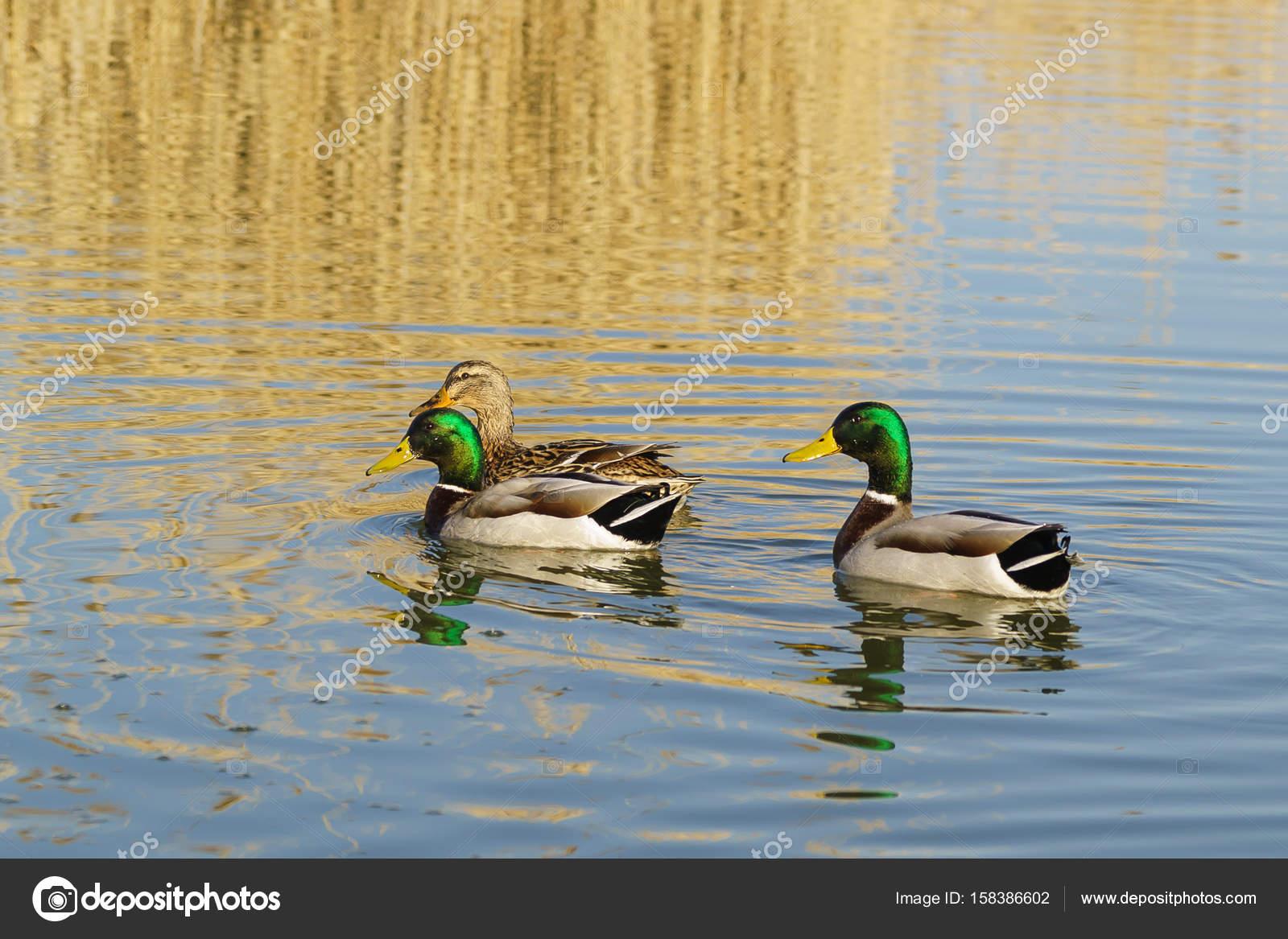 鴨とアヒル家族 (カモ) の取り外...