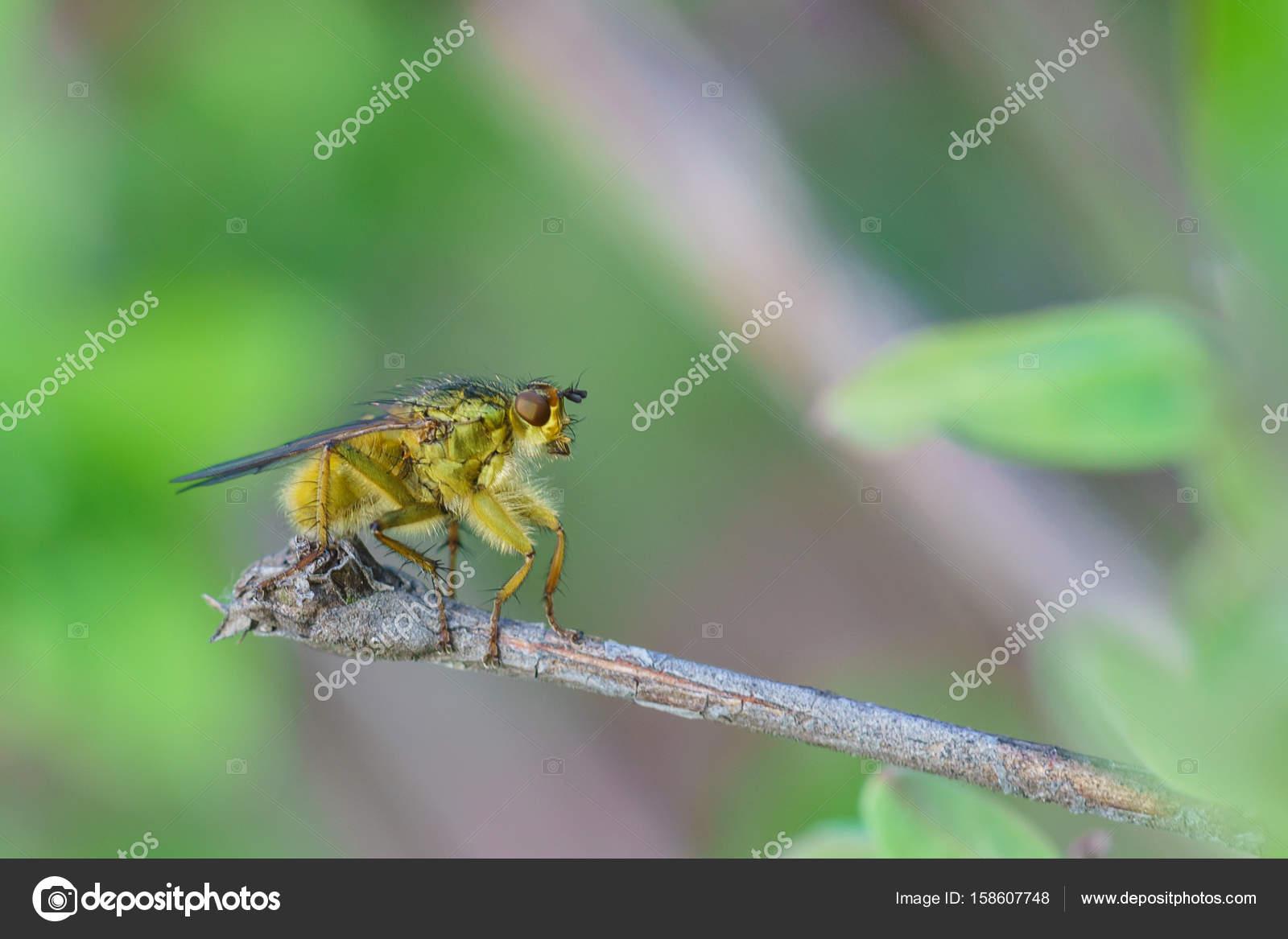 La mosca de fruta común de mosca doméstica (Musca domestica de lat ...