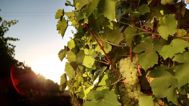 Bílých hroznů vinice při západu slunce