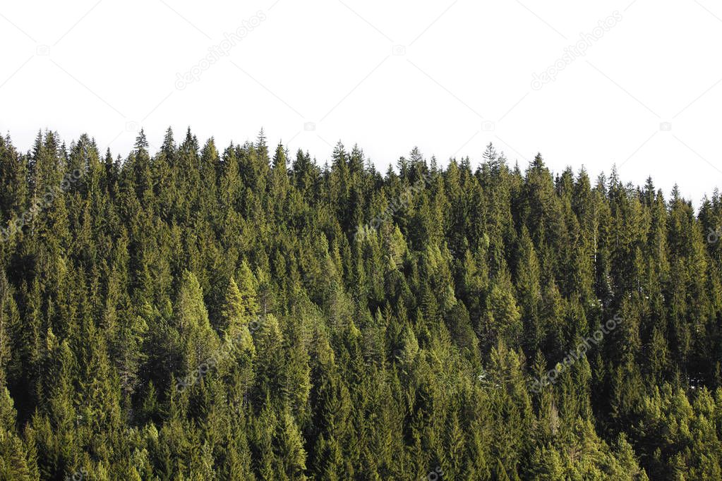 Фотообои green forest with pine trees isolated on white background