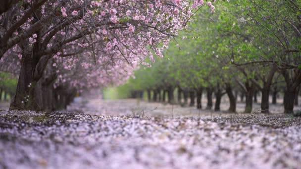 zahrada s kvetoucí broskvoně