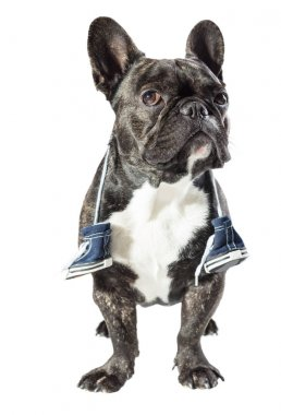 French bulldog with sneakers on the neck