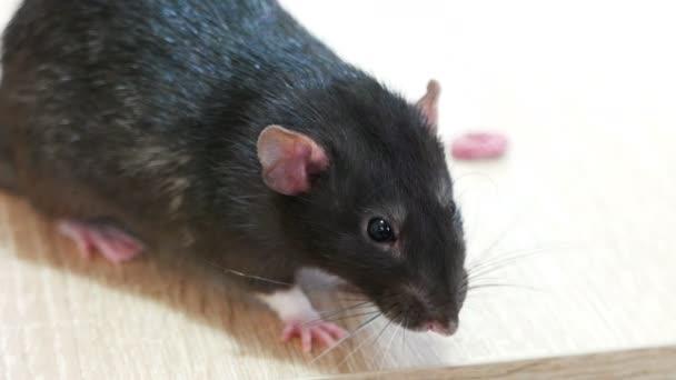 Animal domestic gray rat