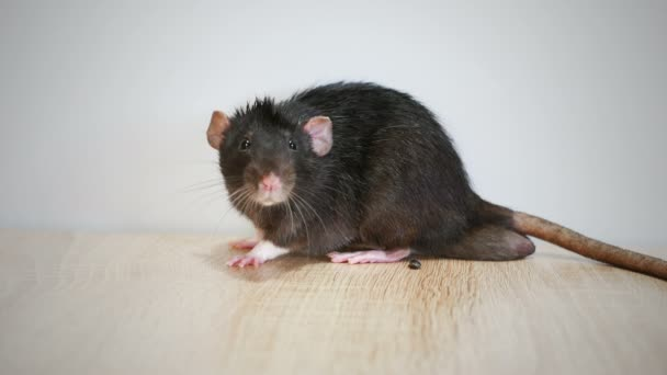 Animal domestic gray rat