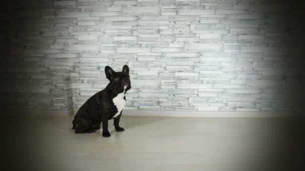 aranyos kutya francia bulldog Ugrás-a szarvastehén lábak