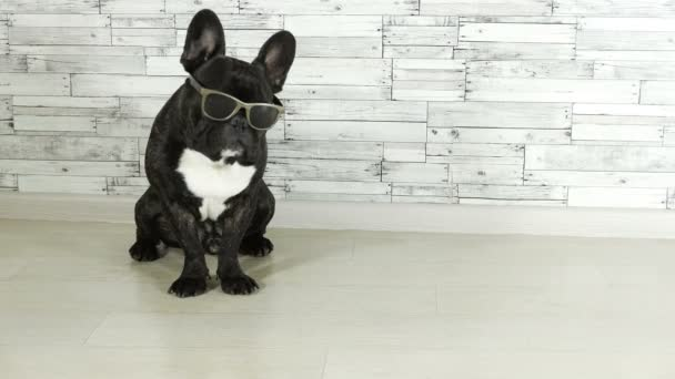 állati kutya tenyészt francia bulldog ül szemüveg