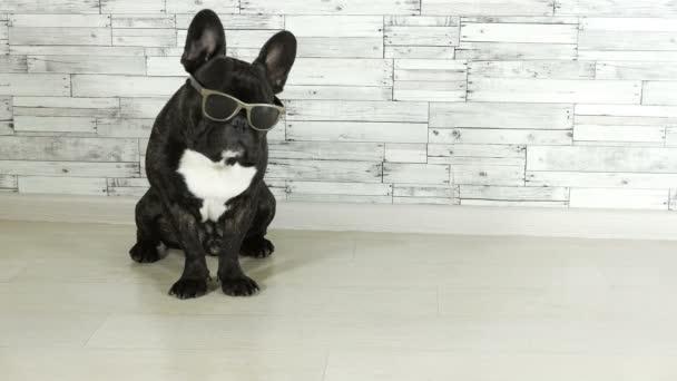 animal dog breed French bulldog sitting in glasses
