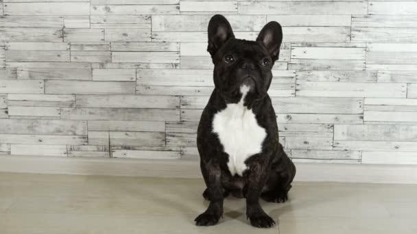 zvířecí psa plemene Francouzský buldoček sedící