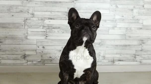 zvířecí psí plemeno Francouzský buldoček mává mu hlavou ne a Ano