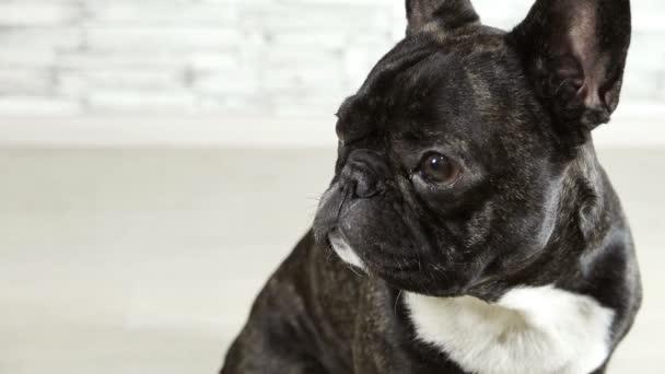 Tier Hunderasse Französische Bulldogge sitzend