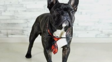 French bulldog standing in tie with glasses licking