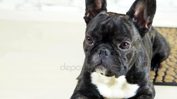 animale cane bulldog francese che si trova sul tappeto