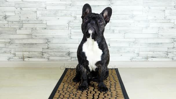 animal dog French bulldog sitting on a rug