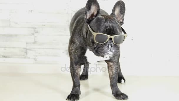 French bulldog with glasses standing licking