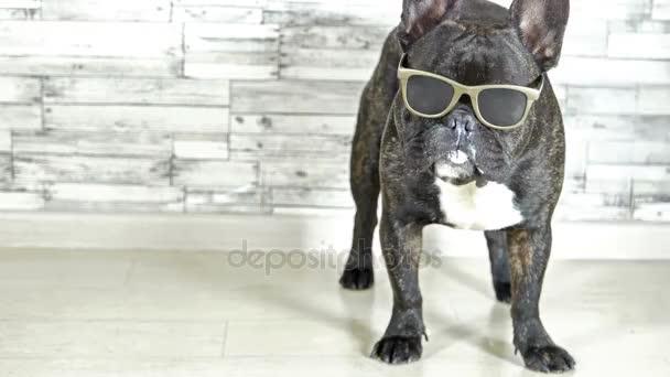 Francia bulldog, szemüveg állandó nyalás