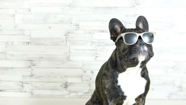 French bulldog with glasses sitting licking