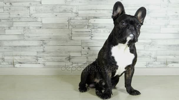 animal dog breed French bulldog sitting