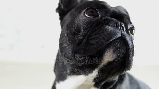 Ritratto del primo piano di animale cane bulldog francese