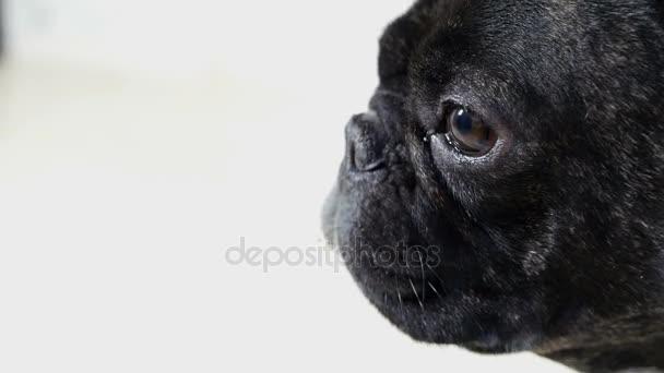 zvířecí psa Francouzský buldoček detailní portrét