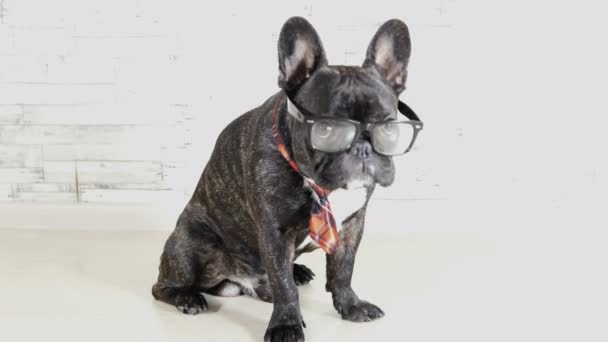 French bulldog with glasses and tie sitting licking