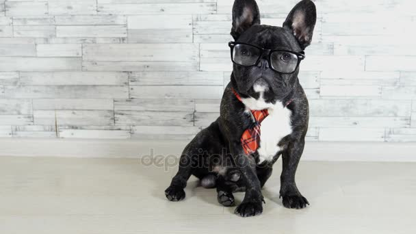 animal dog French bulldog sitting in a tie and glasses