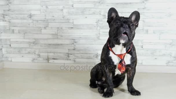 állati kutya tenyészt francia bulldog ül egy döntetlen