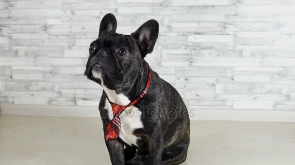 animal dog breed French bulldog sitting in a tie