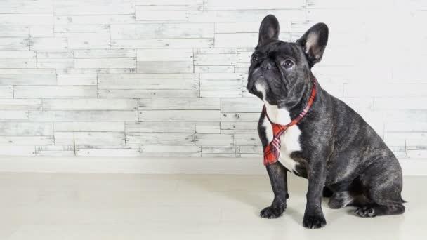 Tierhundezucht Französische Bulldogge sitzt im Schlips