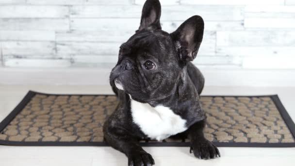 zvířecí pes buldočka na koberci