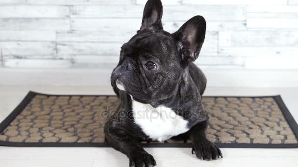 animal dog French bulldog lying on the rug