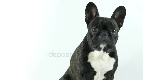 French bulldog dog sitting and looking, white background