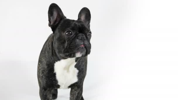 Francia Bulldog kutya áll és nyalás, fehér háttér