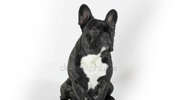 French bulldog dog sitting and licking, white background