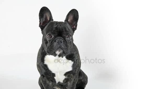 Francouzský buldoček pes sedící a pohledu, bílé pozadí