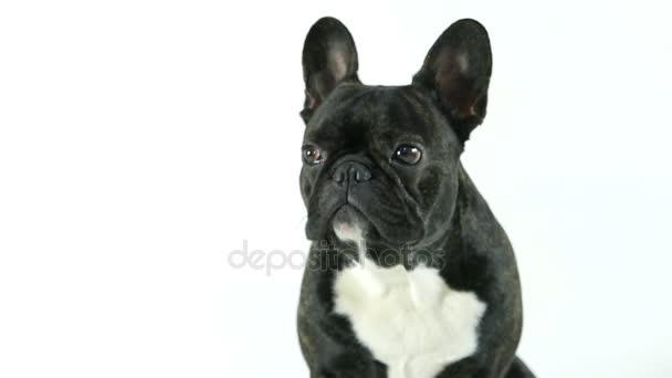 Francia bulldog kutya ülő, fehér háttér