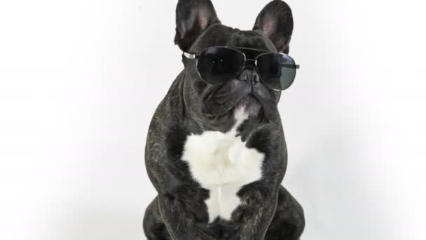 French bulldog sitting in glasses licking, white background