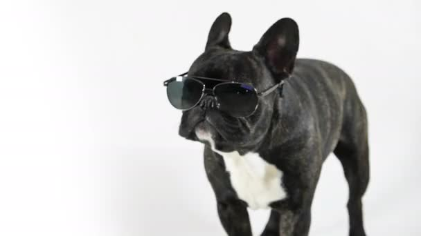 French bulldog standing with glasses licking, white background