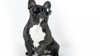 French bulldog sitting in glasses licking, white background