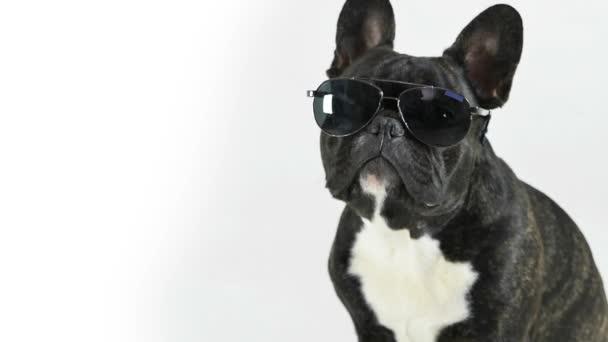 Francia bulldog ül szemüveg, fehér háttér