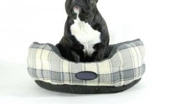 Francia bulldog megy ágy, fehér háttér