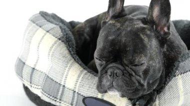 Francia bulldog alszik az ágyban, a fehér háttér