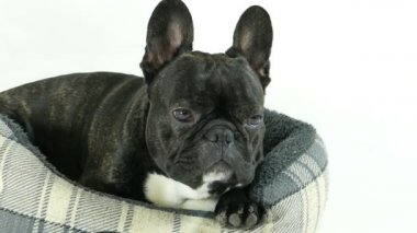 Francia bulldog fekve az ágyban, a fehér háttér