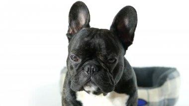 Francia bulldog kutya ülő, és keresi, fehér háttér