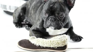 Francia bulldog hazudik-val cipő fehér alapon