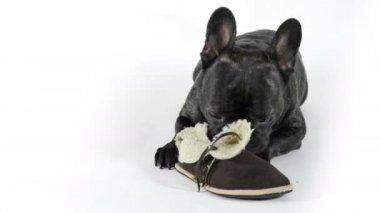 Francia bulldog-val cipő fehér háttér
