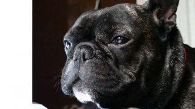 dog breed French bulldog sad howls